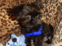 We have two Mini Shih Tzu puppies available vet checked