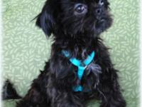 We have Mini Shih Tzu Puppies that will certainly be