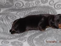 I have 3 beautiful Mini Short Haired Dachshunds babies