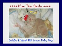 *** Adorable Pint Size Baby Persian Kittens *** Three