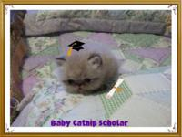 Adorable Mini Size Persian Kittens Due Any Day...Flat