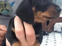 Kc reg, mini smooth haired Dachshunds  pets,