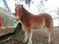 Pokey is a yearling stud mini horse, he will be 2 yrs