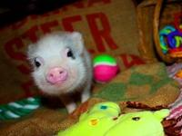 Precious Micro piglets available!!! Visit our piggy