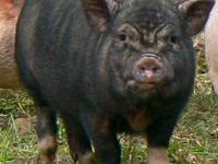 Darleen is a small proven breeding sow. Highly