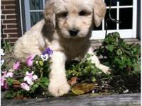 Gorgeous Mini to Medium size Goldendoodle. Mom is a