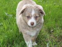 Red Merle female with blue and green marbled eyes. This