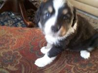 Mini/Toy Aussie's. 1 Blue Merle female (blue eye) and 1