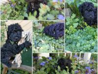 Adorable poodle puppies! Almost ready for their new