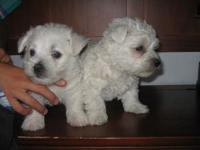 Hey there! I have 2 pure white mini Westies. D.O.B May