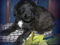 We have an adorable chocolate, mini Whoodle male for