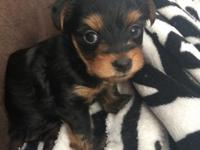My two Yorkies had a happy little boy super CUTE!! He