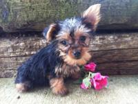 I have a tiny 10 week old yorkie female. She is Aca