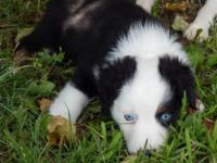 Mini Australian Shepherd Puppy, Female Black Tri With