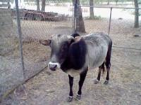 we have a mini zebu bull papered also a paint mini