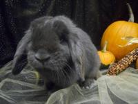 Mini - Lop - Poe - Medium - Adult - Female - Rabbit Poe