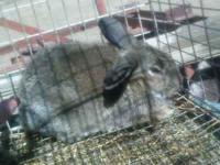Mini Lop/Rex cross bunny, male, 3 months old,