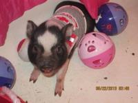 WE HAVE ADORABUL MINI PIG BABYS FROM TWO HUNRED TWO TWO