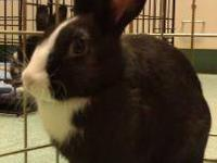 Mini Rex - Carol - Small - Baby - Female - Rabbit