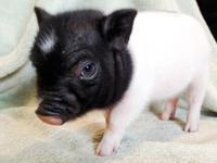 The newest litter of Teacup Mini Piglets are 5 weeks