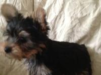 Yorkshire Terrier, AKC registered, I am getting to