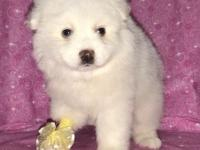 I have a litter of Miniature American Eskimo puppies.