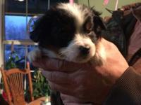 Akc reg Miniature American Shepherd Pups. UTD shots and
