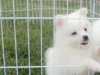 Beautiful healthy purebred RARE UKC Toy Eskies snow