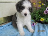 Toby is a cute Blue Merle Miniature Aussiedoodle puppy