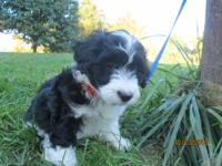 I have 3 adorable Miniature Aussiedoodle puppies left