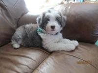 Toby is a lovable Blue Merle Miniature Aussiedoodle