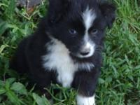 Darling little boy. Black Tri Miniature Australian