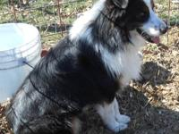 Miniature Australian Shepherd Black Tri Male. His name