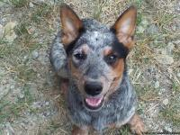 I have a 6 month old Miniature Blue Heeler for sale.