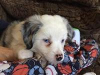 White merle Blue eyes Not docked 2 month old Female