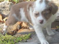 This sweet little girl is a Red Merle with a full white