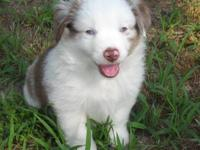Red Merle Boy with 2 blue eyes and full white collar.