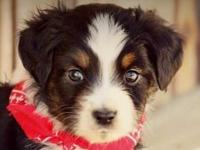 MiniatureAustralian Shepherd male. 8 week old
