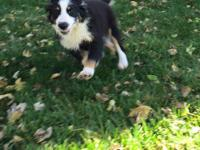 ASDR Miniature Australian Shepherd, black tri female,