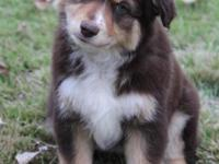 Gorgeous red tri male mini aussie with rich red and