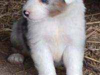 Blue Merle Female, Born May 8th, American Stock Dog