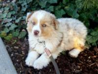 I have one red merle male puppy available, born Feb.