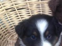 Miniature Australian Shepherd, black tri female,