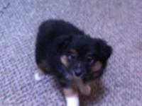 7 week old CKC registered Miniature Aussie Boy. This is