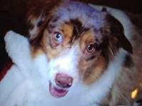 I have a 5 year old Miniature Australian Shepherd
