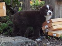 We have a Red Tri Mini Aussie Male. He is the last of
