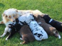 Register-able Miniature Australian Shepherd puppies