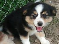 ONLY ONE LEFT! Mini Aussie puppies, now accepted into
