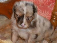 Red Merle Female. American Stock Dog registry. Born May