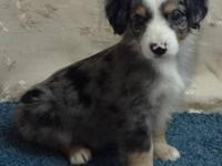 We have Miniature Australian Shepherd puppies for sale.